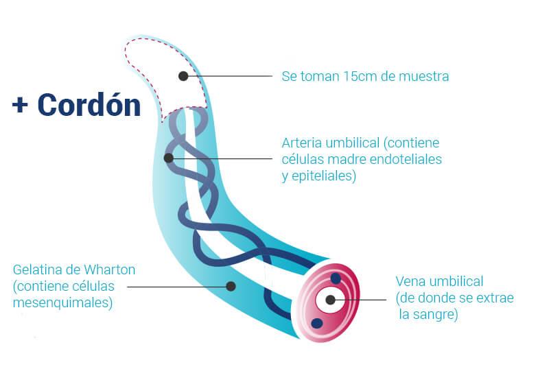 cordon-esp