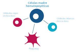 Tipos de células madre del cordón umbilical: Hematopoyéticas