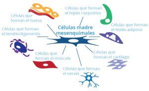 Tipos de células madre del cordón umbilical: Mesenquimales