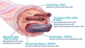 Las partes del cordón umbilical